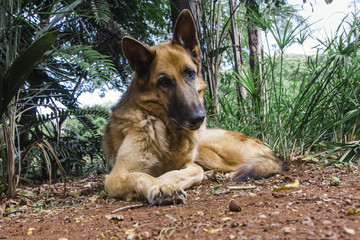 A German Shepherd rests in the cool dirt.