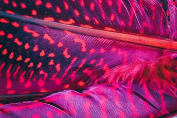 Obraz Red, magenta feather background, extreme close up - fototapety do salonu
