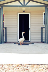 goose at the front door