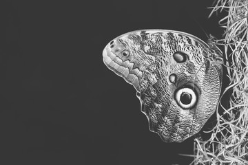 Black and white shot of Butterfly