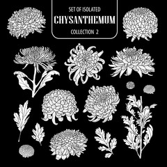 Set of isolated white silhouette chrysanthemum collection 2.Cute hand drawn flower vector illustration in white plane and no outline.