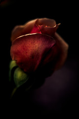 A rose in shadow