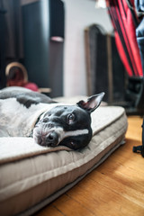 Lazy dog with a watchful eye.