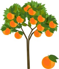 Orange tree with green leaves and ripe orange fruits on white background