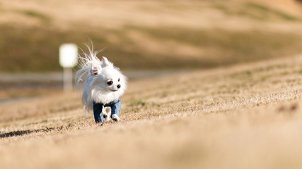 冬の芝生を歩くチワワ