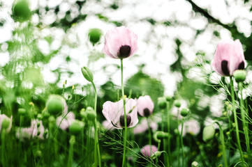 Field of Poppies in Spring. Selective Focus & Blurred