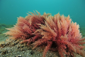 Close-up view of red seaweed bushes on flat sea bottom of coarse sand.