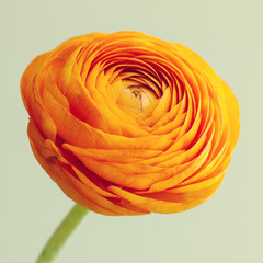 Macro of orange ranunculus flower