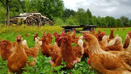 Photo sur Plexiglas Poules Bio Hühner Herde auf grüner Wiese 3