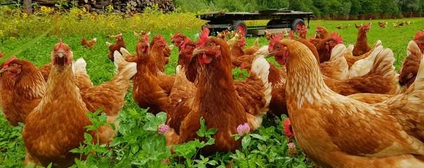 Bio Hühner Herde  auf grüner Wiese 1