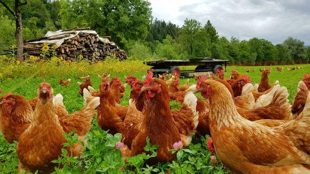 Bio Hühner Herde  auf grüner Wiese 3