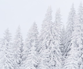 Beautiful snow covered evergreen forest