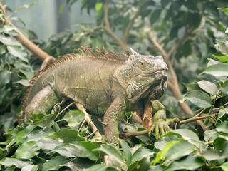 Mighty male on branch Green iguana, Iguana iguana