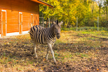 bright zebra comes from the orange building for animals, autumn, summer, four hooves