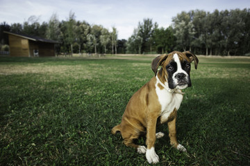 Boxer puppy in a park