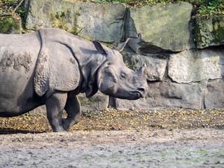 Indian rhinoceros, Rhinoceros unicornis, adult female