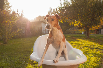 dog washing outdoor, home pet washing, terrier in bathtub