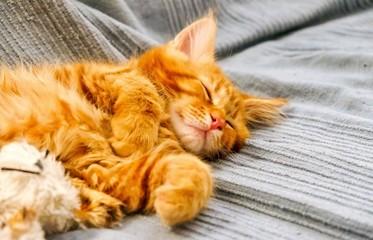 Red Main Coon kitten