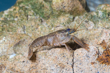 European crayfish, astacus astacus in the pond