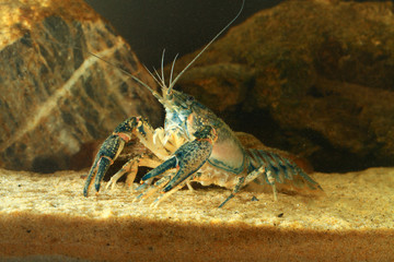 Like a lobster Eastern crayfish, orconectes limosus
