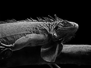 Black and White Picture of Iguana Lie Down on Piece of Wood on Black Background, Clipping Path