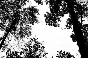 Black silhouette of trees with leaves and twigs on a white background. Deciduous trees. Abstract silhouette of a natural landscape. Design Element