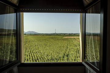 sight of a field of sunflowers from a window in Gerona, Spain.