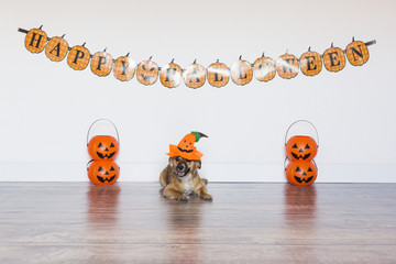 two beautiful cute small dogs wearing funny halloween costumes. Indoors. cute little dog siting on the wood floor with a costume pumpkin. Halloween concept. Indoors.