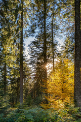 Autumn landscape - Black Forest. In the middle of the Black Forest at sunset.