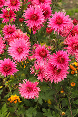 Flower chrysanthemum in autumn garden