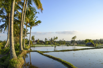 Small green rice plants growing in the shallow paddy fields, rice paddies with mud dividing walls, on the plain between small villages.