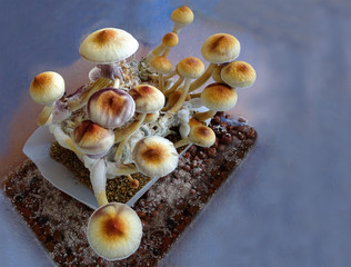 Psilocybe cubensis, magic mushrooms