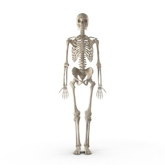 Human Male Skeleton standing pose on white. Front view. 3D illustration