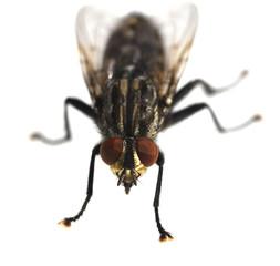 Schmeissfliege, Fliege, Calliphora, vicina