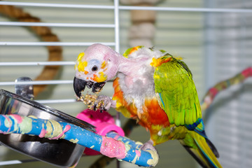 Bald parrot with open beak eating millet while holding in foot, showing tongue. This pet Jandaya Parakeet has been plucked by it's mate. The head anatomy is visible including the skin and ear.