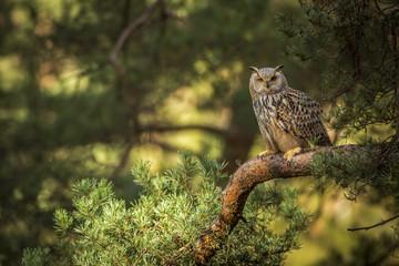 siberian eagle owl, bubo bubo sibiricus Fototapete