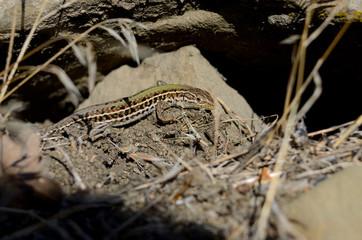 the Crimean mountain ordinary lizard