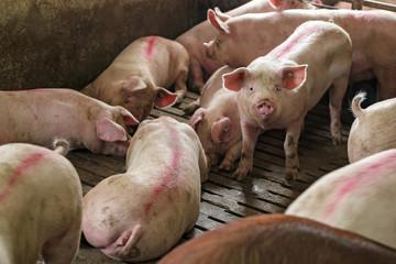 Pigs in a Pigpen