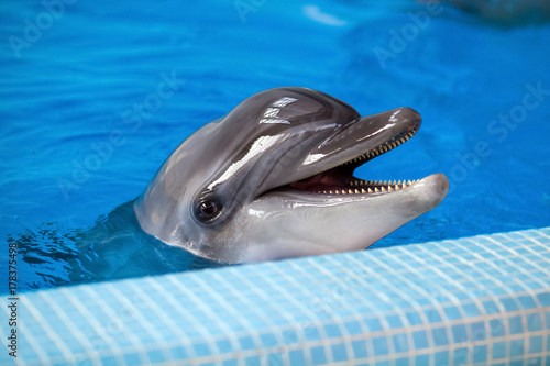 Close-up of an adult gray dolphin looking at the camera and smiling in a blue pool near the side