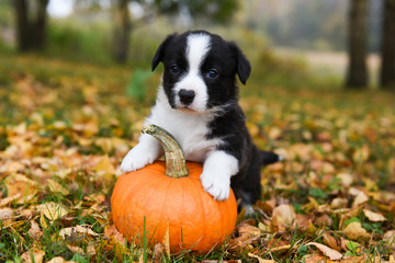 corgi puppy dog with a pumpkin on an autumn background
