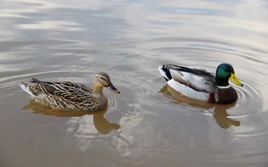 Female and male mallards on the water's surface