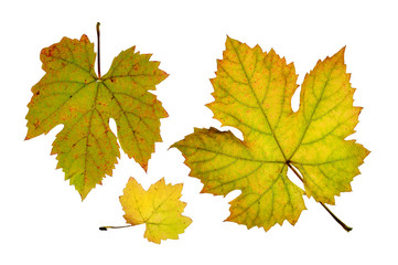 Close up of vine leaves in autumn, isolated on white background Fototapete