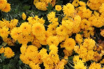 Flower chrysanthemum in autumn garden