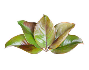 Set of autumn magnolia tree leaves isolated on white background