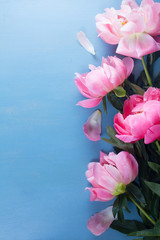 Fresh peony pink flowers border on blue background