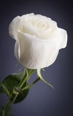 white rose on a dark background