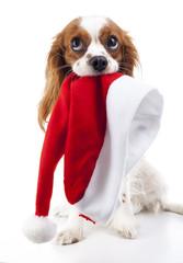 Dog with Santa hat. Christmas dog in studio. White background king charles spaniel dog. Christmas time. Santa hat with dog.