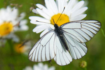 White butterfly Aporia crataegi. Aporia crataegi, the black-veined white, is a large butterfly of the family Pieridae.