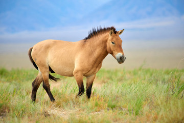 Fototapeta Przewalski horses in the Altyn Emel National Park in Kazakhstan.  The Przewalski's horse or Dzungarian horse, is a rare and endangered subspecies of wild horse native to the steppes of central Asia. T