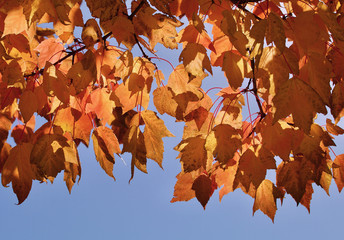 Yellow autumn leaves against the sky